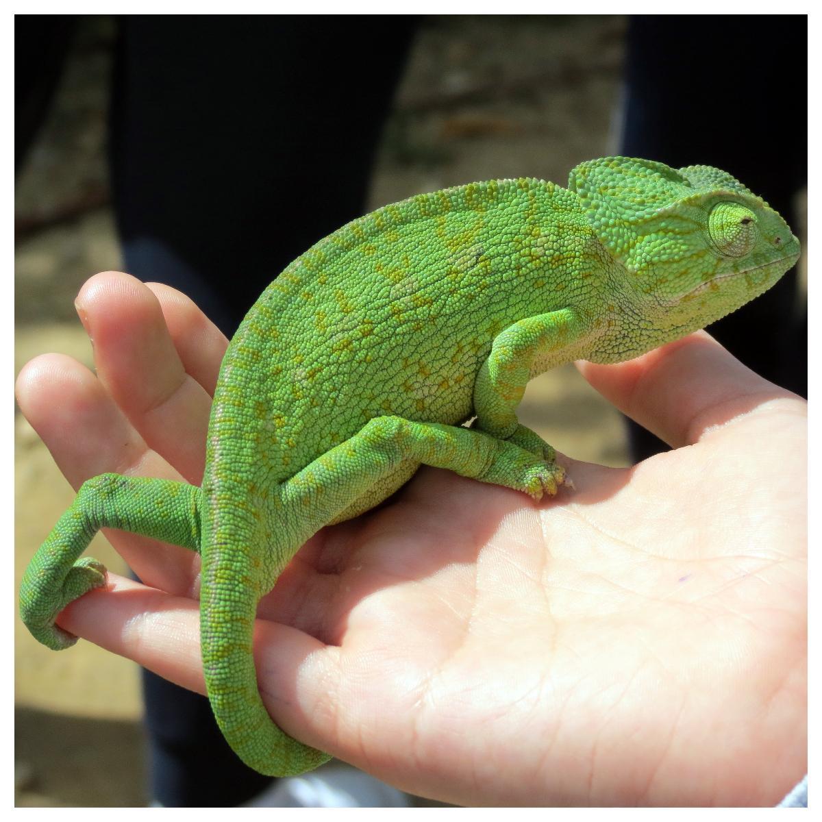Visita guiada al Centro de Conservación y Recuperación del Camaleón